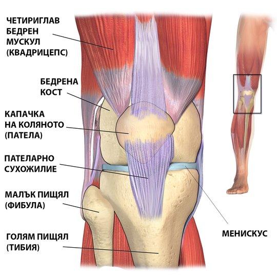 Анатомия на коляното.