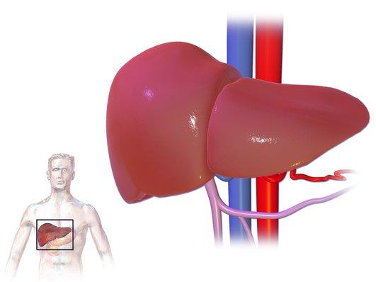 ГГТ се повишава при увреждане на черния дроб и жлъчните пътища.